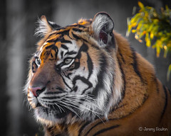 It's hairy ear (JKmedia) Tags: big cat bigcat boultonphotography chesterzoo cheshire february 2018 portrait animal tiger stripes pantheratigris bokeh