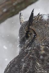 1.05947 Grand-duc d'Amérique / Bubo virginianus virginianus / Great Horned Owl (Laval Roy) Tags: quebec aves birds oiseaux canon grandducdamérique bubovirginianusvirginianus greathornedowl bubovirginianus rapaces strigidés strigiformes domainedemaizerets villedequébec lavalroy eos7d ef300mm14lisextender14xiii noflashused grosplan