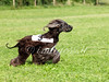 CoursingVillaverla2016w-005 (Jessica Sola - Overlook) Tags: dogs sighthounds afghanhounds greyhounds saluki barzoi italiangreyhounds irishwolfhounds lurecoursing lure race run dograces field greengrass