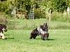 CoursingVillaverla2016w-001 (Jessica Sola - Overlook) Tags: dogs sighthounds afghanhounds greyhounds saluki barzoi italiangreyhounds irishwolfhounds lurecoursing lure race run dograces field greengrass