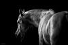 (Jen MacNeill) Tags: roze arabians arabian horse horses equine grey gray equestrian bnw bw blackandwhite colt