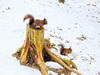 2 red squirrels (tubblesnap) Tags: liverpool merseyside sciurus vulgaris red squirrel formby nature reserve tufty snow