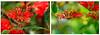 Fire Wheel (Greenstone Girl) Tags: red what plant macro stenocarpus warrawee park oakleigh