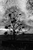 Lone Tree,Wracks Wood,Banff_mar 18_428 (Alan Longmuir.) Tags: monochrome wrackswood lonetree lightintheforest grampian aberdeenshire banff