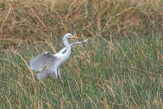 Intermediate Egret aka Yellow-billed Egret