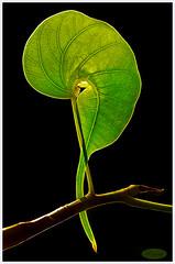 ... until LIGHT ... MM - Theme-Imperfection (LOVE.OVER.LUST.) Tags: mm macromondays imperfection ficusreligiosa sacredfig bodhitree leaf details backlit backlight curved graceful elegant veins green rimlines warm blackbackground sundaylights