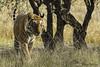 Burning Bright (Elliot Pelling) Tags: tiger india ranthambhore national park bengal panthera tigris mammal safari wild nature endangered