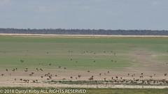 An unusual sight on Lake Menindee!! (darrylkirby) Tags: australian australia emus wildlife outdoors nature sony lakes menindee