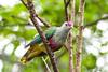 Rose-crowned Fruit Dove (TGPhotography_au) Tags: pentaxk1pentax k1 pentaxdfa150450zoom tarongazoo birds australianbirds parrots finches