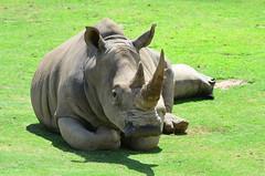 DSC_5429 (Andrew Nakamura) Tags: animal mammal rhino rhinoceros whiterhino southernwhiterhinoceros lyingdown sandiegozoosafaripark safaripark escondido
