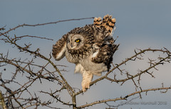Short eared owl (Asio flammeus) (Gowild@freeuk.com) Tags: shortearedowl owl owls asioflammeus wild wildlife nature animal bird birds uk british andrewmarshall nikon feathers