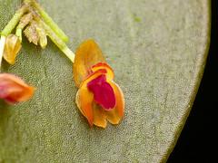 Lepanthes sp. (Eerika Schulz) Tags: lepanthes orchidee orchideen orchid orchids puyo ecuador jardin botanico las orquideas eerika schulz