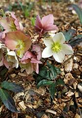 Hellebore (Linda DV) Tags: lindadevolder samsung phone note4 belgium brussels 2018 hellebore ranunculaceae ranunculales ribbet
