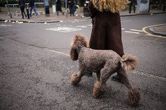 Poodle (Michael Goldrei (microsketch)) Tags: dogs portrait leicam england like street shoreditch owners brown 35mm photos 2017 photographer london uk photography 17 portraits eastlondon photo faces summilux mp fur face east leicacamera flower asph furry february fluffy poodle their market 14 typ240 35 old leicamtyp240 typ columbia 240 mp240 dog leicalovers st colombia feb leica
