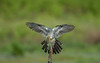 Cuckoo (Cuculus canorus) (Steven Whitehead) Tags: cuckoo wildlife wild nature feeding feathers flying green canon canon1dx 500mm 500mmf4 500mmf4is canon500mm bird cuculus canorus canon1dxmk2