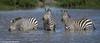 Chilling out.... (Duncan Blackburn) Tags: 2018 kenya masaimara mammal zebra nikon nature wildlife ngc npc