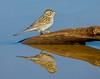 Brewer's Sparrow (Eric Gofreed) Tags: arizona brewerssparrow sedona sparrow springcreektank
