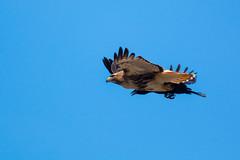 Crow vs RT Hawk-b (CharlesHastings) Tags: redtailedhawk marmora birdsofprey wildlife hawk birds nature