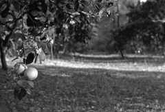 Citrus Grove (macromary) Tags: 50mm summicron rodinal leicaflexsl leica leitz leicaflex slr primelens vintage camera manual film bw blackandwhite fomapan fomapan100 35mmfilm filmcamera blackwhite vintagecamera vintagelens oldglass mechanicalcamera monotone analog availablelight analogphoto fompan florida floridahistory citruscounty citrusgrove orangegrove grapefruit tree trees grove fl floridaagriculture rural farming floralcity airbnb citrus crop banesgrove retiredgrove floridacitrusindustry
