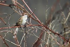 American Tree Sparrow (jimbop22001) Tags:
