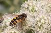 Helophilus affinis (2) (saracenovero) Tags: helophilusaffinis syrphidae diptera flies fliesoflithuania mazeikiai 2017