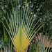 Ravenala (traveler's Palm)