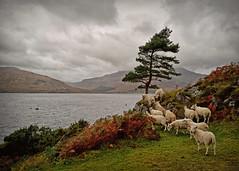 Counting Sheep... (Harleynik Rides Again.) Tags: sheep glenelg westcoast westerross weather scotland highlands isleofskye harleynikridesagain nikondf