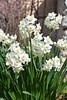 Narcissus (esta_ahi) Tags: pontons flor flora flores silvestres narcissus narcís narciso blanco amaryllidaceae barcelona penedès spain españa испания