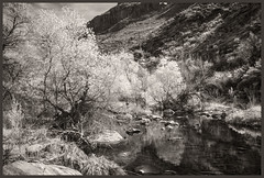 Sabino Canyon IR #35 2018; The Creek (hamsiksa) Tags: infrared digitalinfrared infraredphotography blackwhite landscape water creeks streams deserts sonorandesert santacatalinamountains sabinocanyon arizona tucson plants flora trees cottonwood populusfremontii salicaceae riparian oasis coronadonationalforest