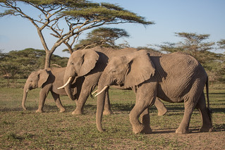 A trio of tuskers