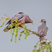 Band-tailed Pigeon Couple