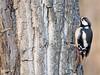 Pico picapinos (Dendrocopos major)   (61) (eb3alfmiguel) Tags: aves pájaros carpintero piciformes picidae pico picapinos dendrocopos major pájaro árbol hierba animal bosque madera