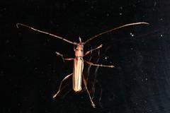 Xystrocera globosa (dhobern) Tags: 2018 china march xtbg xishuangbanna yunnan coleoptera cerambycidae cerambycinae xystroceraglobosa