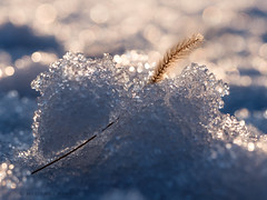 winter grass (marianna armata) Tags: macro grass winter ice snow crystals bokeh hbw mariannaarmata p1960226