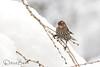 The girls are here (dbifulco) Tags: nature rwbl birds branch cherrytree female newjersey redwingedblackbird snow widlife winter