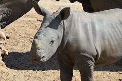 DSC_4708 (Andrew Nakamura) Tags: animal mammal rhino rhinoceros southernwhiterhino whiterhino whiterhinoceros rhinocalf sandiegozoosafaripark safaripark escondido
