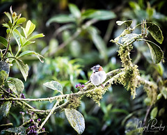 RUFOUS-COLLARED SPARROW 1 (Nigel Bewley) Tags: rufouscollaredsparrow zonotrichiacapensis oldworld costarica centralamerica wildlife naturalhistory greatoutdoors wildlifephotography endangeredwildlife bird birds avian birdlife distinguishedbirds birdwatchercreativephotography artphotography unlimitedphotos february february2018 nigelbewley photologo varablanca heredia