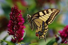 Schwalbenschwanz (Papilio machaon) (Hugo von Schreck) Tags: hugovonschreck schmetterling butterfly falter macro makro insect insekt schwalbenschwanz papiliomachaon tamron28300mmf3563divcpzda010 yourbestoftoday canoneos5dsr