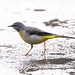 Grey wagtail on ice
