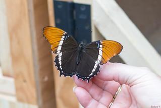 Papillons en fête, Québec, Canada - 5046