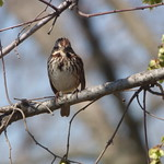 Song Sparrow, March 12, 2018 thumbnail
