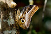 Caligo sp. (Marcelino Dias) Tags: borboleta coruja caligo bahia owl butterfly lepidoptera caracol snail
