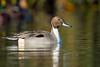 Northern Pintail (X81_5924-1) (Eric SF) Tags: northernpintail pintail duck nearylagoonpark santacruz california