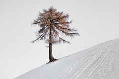 Larice solitario (lucamarasca1) Tags: outdoor place landscape mountain dslr nikkorlens 18200mm d5500 nikkor nikon mothernature background alberosolitario solitarytree südtirol altoadige alberi larice details bianco white albero neve snow monocrome nature tree trees