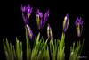 irises (Magda Banach) Tags: canon canon80d sigma150mmf28apomacrodghsm blackbackground colors flora flower macro nature plants irises