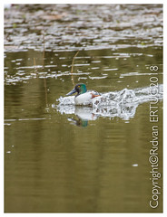 Northern shoveler /  Anas clypeata - Just landing – Taken at Nene Country Park (I'll catch up with you later, your comments and cr) Tags: nikkor200500mmf56eafsed nikond610fx wildlifephotography birdphotography fallowdeer nature watcher ferrymeadowscountrypark rertug