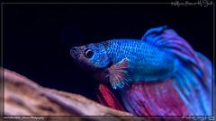 the stare (kelvinj_funlab) Tags: kelvinjong funlab d810 nikon tamron90mmf28spdimacro11vcusd tamron macro kenko singapore handheld indoor aquarium