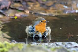 European robin (Erithacus rubecula) taking bath in puddle, head on