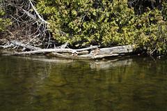 River Logs (jeffyphotos) Tags: eramosariver trees water logs