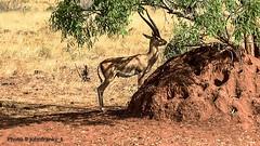 Safari-Tsavo National Park-Kenya (23) (johnfranky_t) Tags: johnfranky t tsavo national park kenia kenya africa savana erba